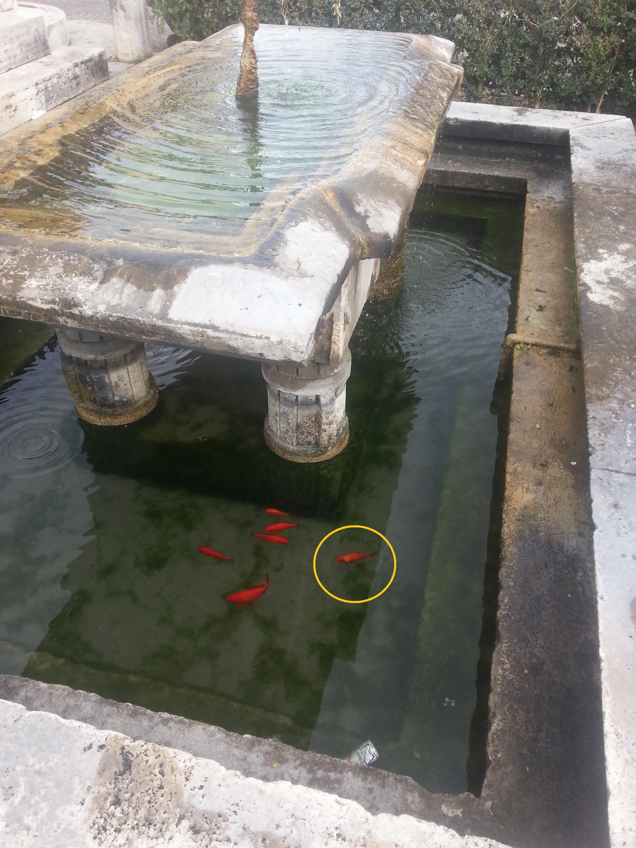 Ceccano pesci malformati nella vasca del monumento ai for Vasca pesci esterno